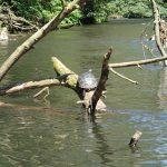Schildkröte Wupper